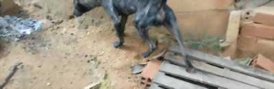 Bán nhanh chó Phú Quốc vện xám năm tháng tuổi