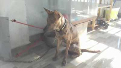 Bán nhanh chó Phú Quốc vện loài chó đực