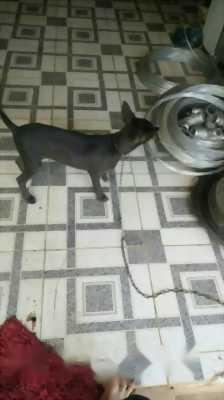Chó lai phú quốc.  6kg em ăn khỏe chóng lớn