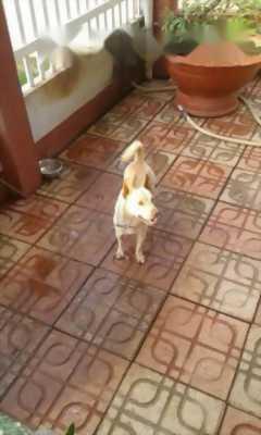 Cần bán chó Phú Quốc lai Fox