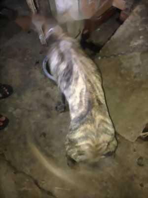 Bán chó Phú Quốc vện thuần chủng