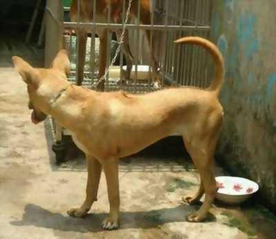 Cần bán chó Phú Quốc