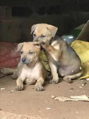 Chó cha phú quốc - chó mẹ xoáy thái