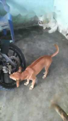 Cần bán chó Phú Quốc cái
