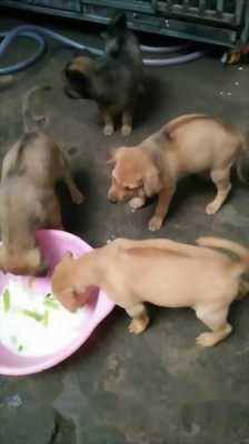 Bán cún con Phú Quốc xoáy lưng