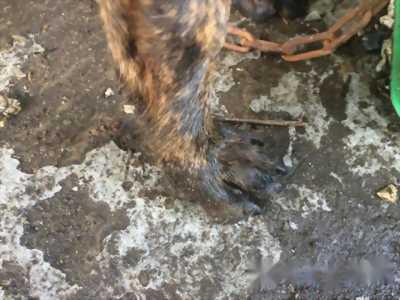 Bán chó Phú Quốc đực bốn tháng tuổi