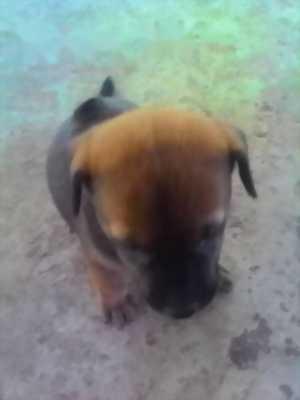 Bán cún con Phú Quốc