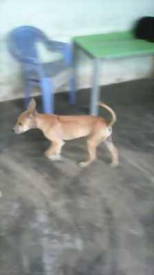 Bán chó Phú Quốc vàng đực lưỡi đen