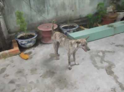 Bán chó Phú Quốc vện đuôi vót cần câu