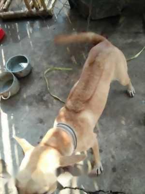 Bán chó Phú Quốc cái