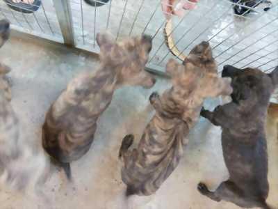 Bán nhanh chú chó Phú Quốc vện đẹp hai tháng tuổi