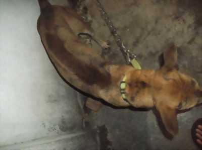 Bán chó Phú Quốc vện đực,  bảy tháng tuổi