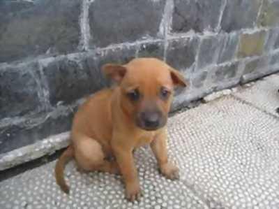 Cần bán chó phú quốc thuần chủng khu vực đà lạt