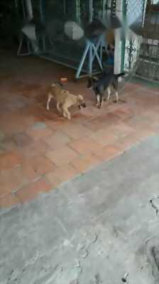 Chó xoáy lưng Phú Quốc