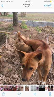 Cần tiền bán chó Phú Quốc