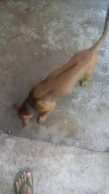 Bán nhanh chó lai Phú Quốc 6 tháng