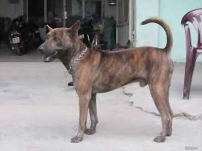 Cần bán chó phú quốc đực 4 tháng
