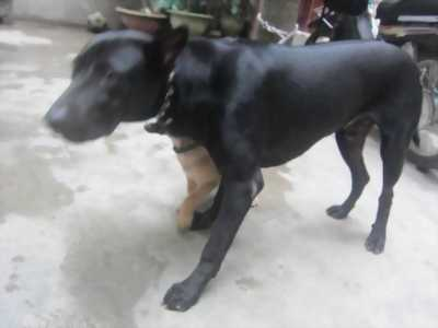 Cần bán chó phú quốc cái 12 tháng