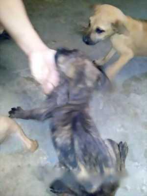 Cần bán chó Phú Quốc cỏ