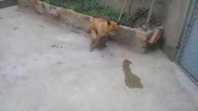 Bán chó Phú Quốc vện hổ