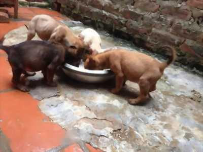 Bán chó Phú Quốc thuần chủng