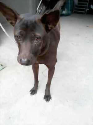 Bán chó Phú Quốc cái 12 tháng