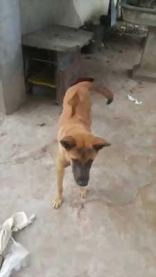 Bán chó Phú Quốc đực tám tháng tuổi