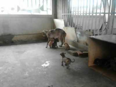 Bán chó Phú Quốc từ đảo về