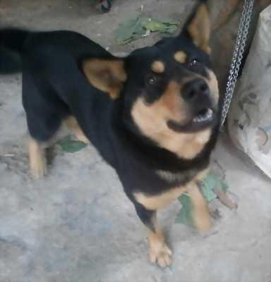 Chó Phú Quốc lai.