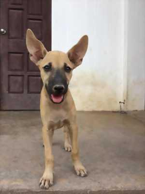 Cần bán chó Phú Quốc cái 2,5 tháng tuổi giá rẻ