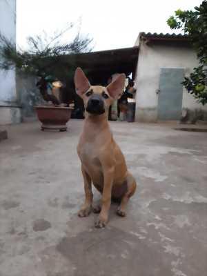 Bán đàn chó 3 con Phú Quốc 3 tháng tuổi tiêm phòng đầy đủ