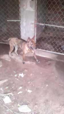 Bán chó phú quốc vện cái mua tại trại
