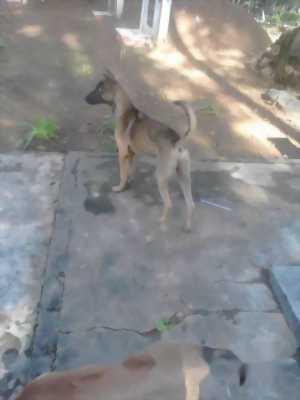 Cần bán hai chó Phú Quốc đực màu đuốc