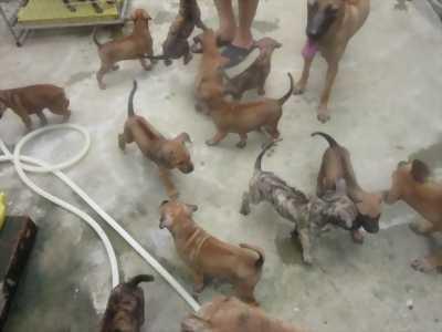 Bán chó phú quốc con hơn 3 tháng tuổi