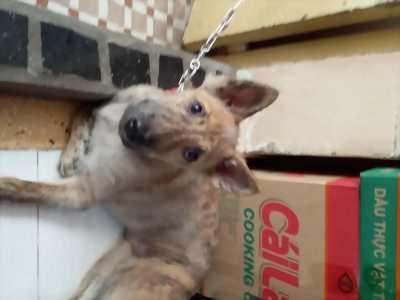 Chó Vện Phú Quốc 4 tháng rưỡi