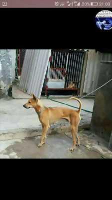 Cần bán chó Phú Quốc đực
