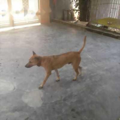 Bán nhanh chó Phú Quốc đực