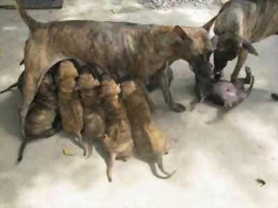 Cần bán chó phú quốc rã đàn