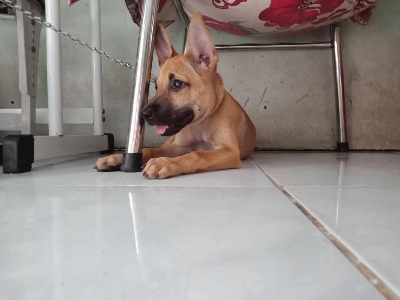 Bán chó lai Phú Quốc tại thành phố Hồ Chí Minh
