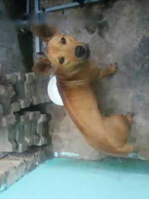 Cần nhượng lại em chó Phú Quốc giá hữu nghị bất ngờ