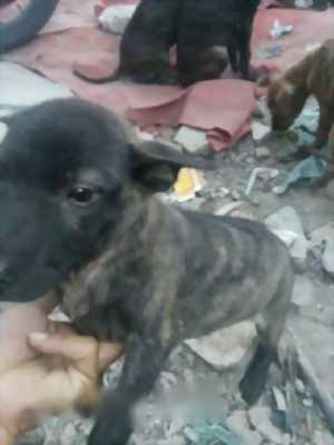 Cần bán lại em chó Phú Quốc lưỡi đen độc đáo bất ngờ