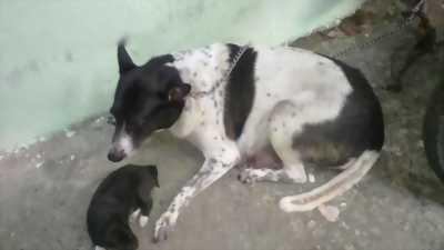 Cần bán lại em chó Phú Quốc giá hữu nghị