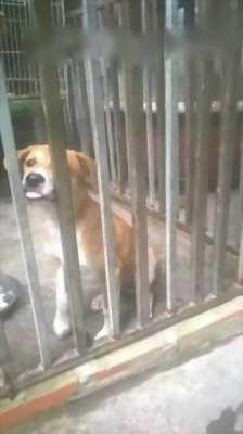 Cần nhượng lại em chó Phú Quốc dễ thương thuần chủng