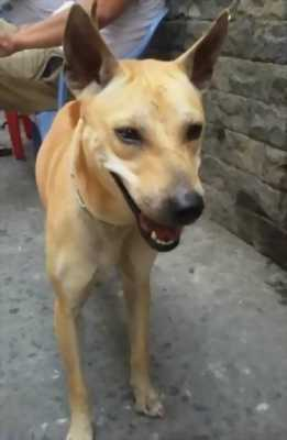 Bán chó Phú Quốc 7 tháng giá rẻ