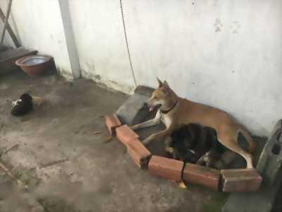 Bán chó Phú Quốc thuần chủng giá rẻ