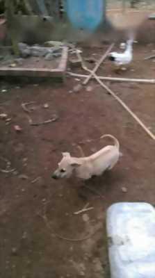 Tìm chủ mới cho chó Phú Quốc vện lửa