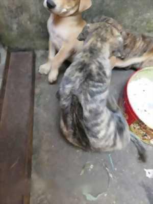 Cần bán chó Phú Quốc đực giá rẻ