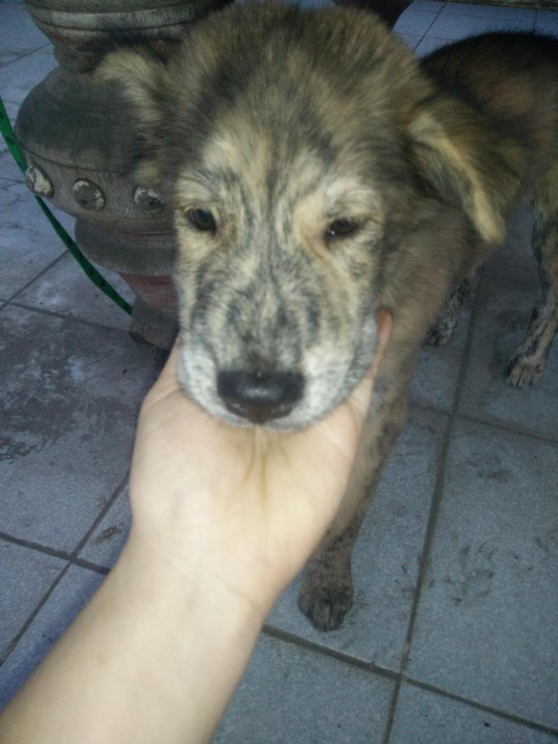Chó vện Phú Quốc, lưỡi đốm