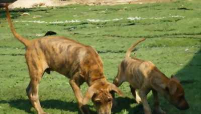 Mua bán chó Phú Quốc thuần chủng