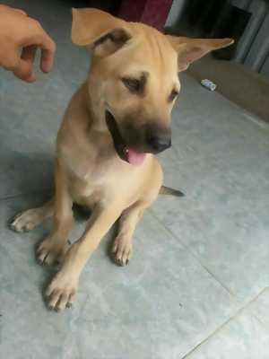 Gia đình cần bán 1 chú chó Phú Quốc 12 tháng tuổi.